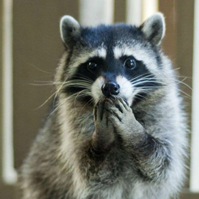 Raccoon hand on mouth