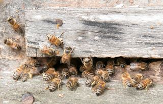 bees in the wood