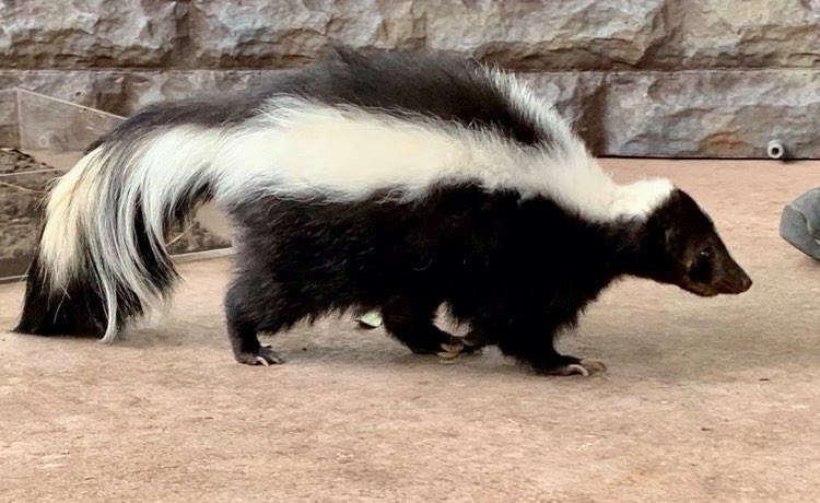 skunk searching for food