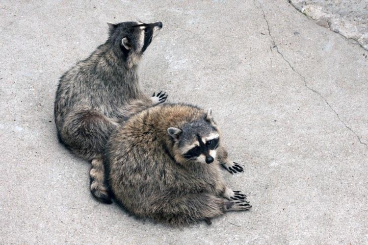 two cute raccoons