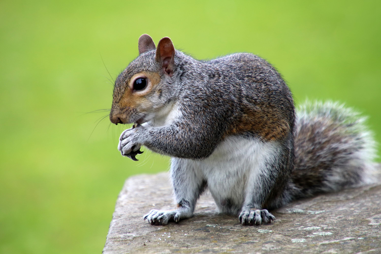 Squirrel_eating